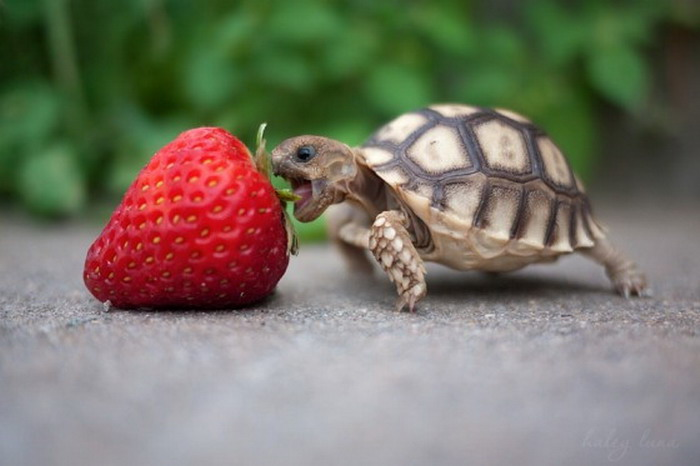baby-turtle-eats-strawberry-big